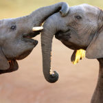 Elephants greeting